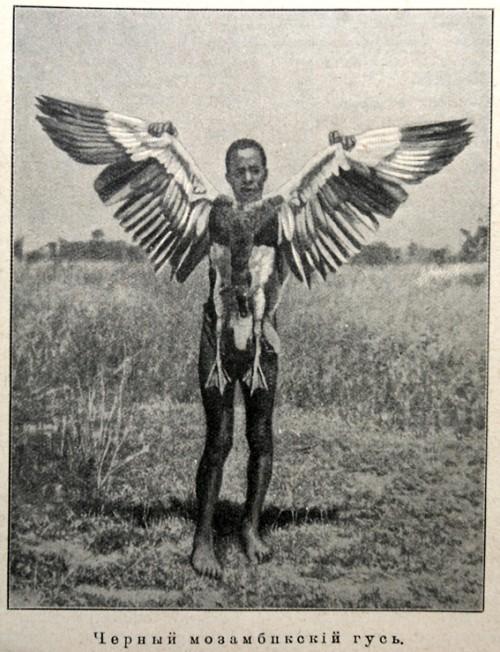 Мозамбикский гусь