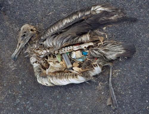В желудках альбатросов